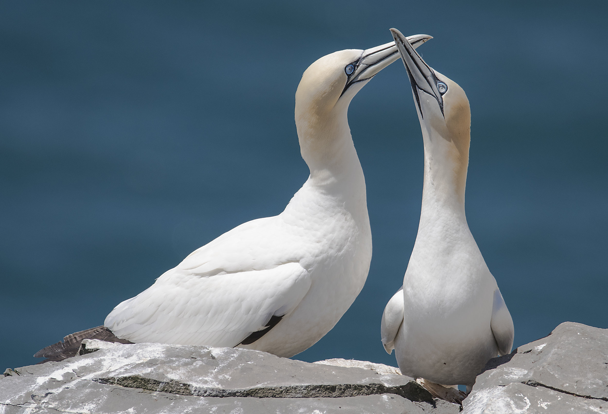 two northern gannets in newfoundland.jpg