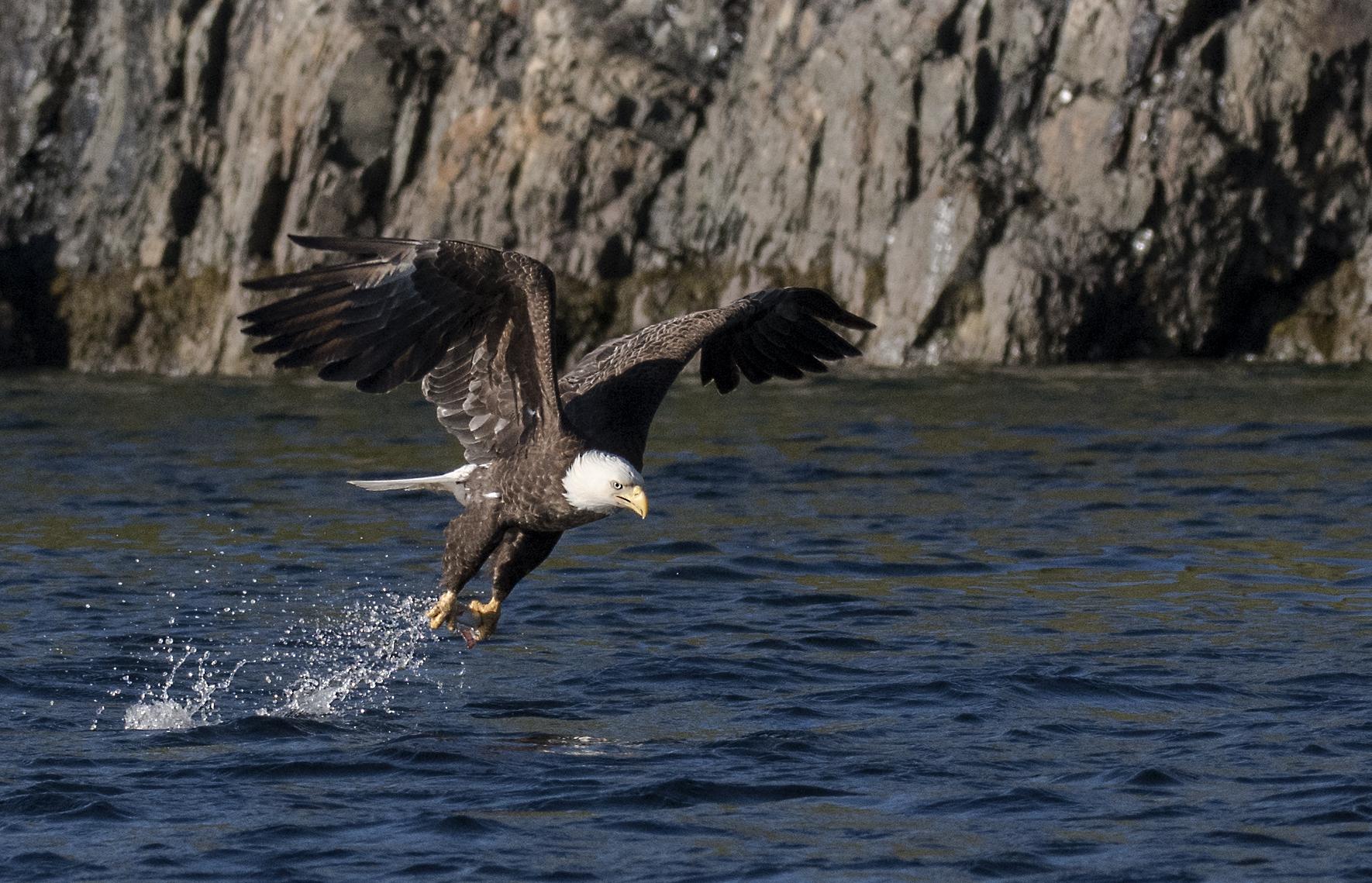 trinity newfoundland bald eagle.jpg