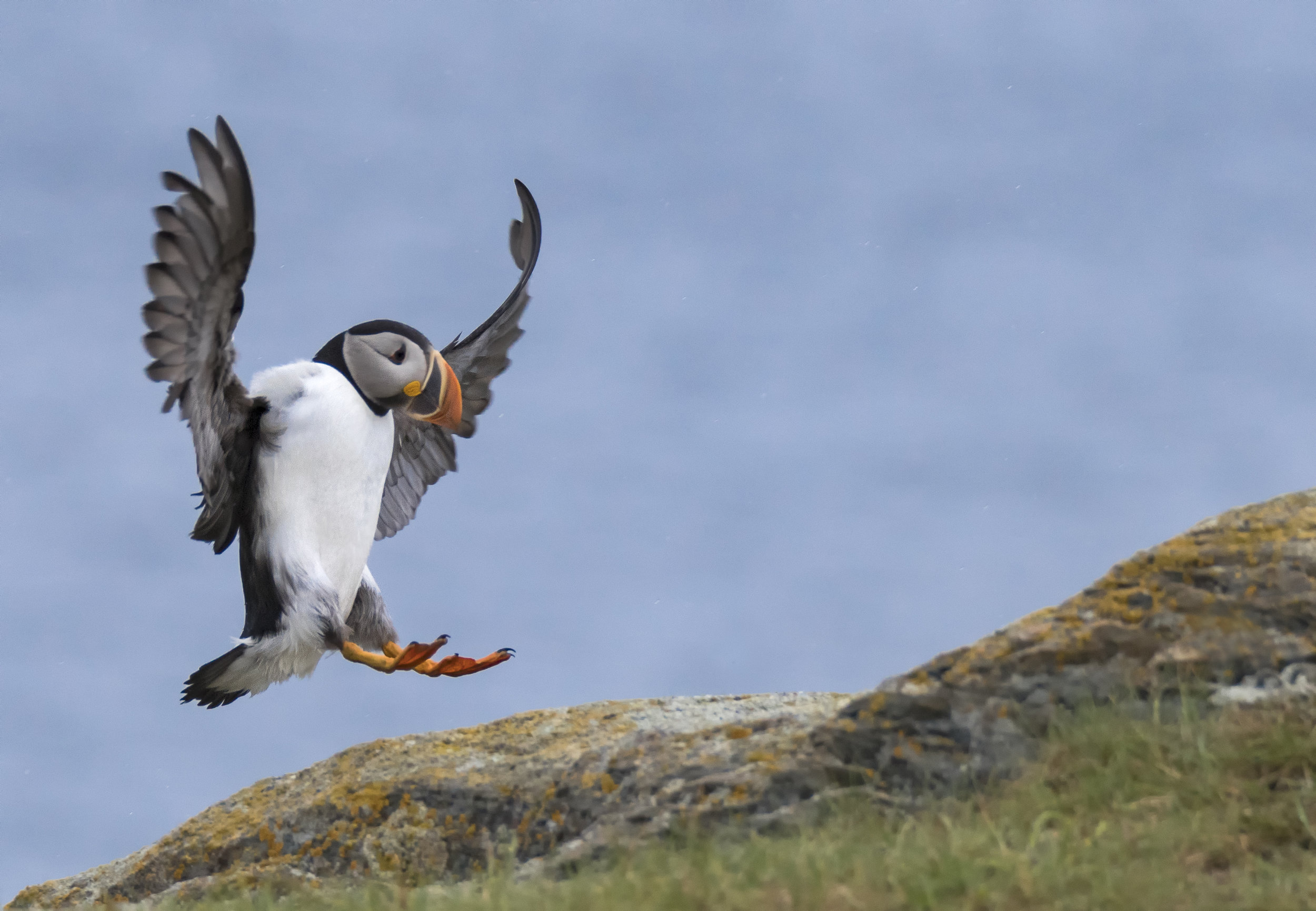 elliston+puffin+coming+in+for+landing.jpg