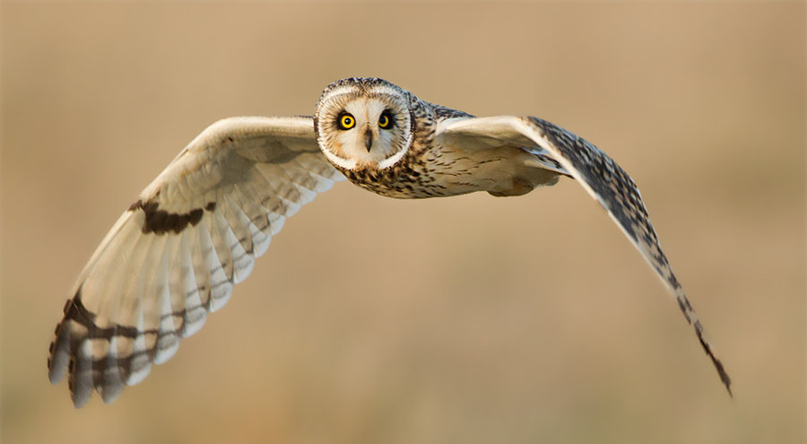 oh_it__s_you_again______short_eared_owl_by_jamie_macarthur-d4s6vld.jpg