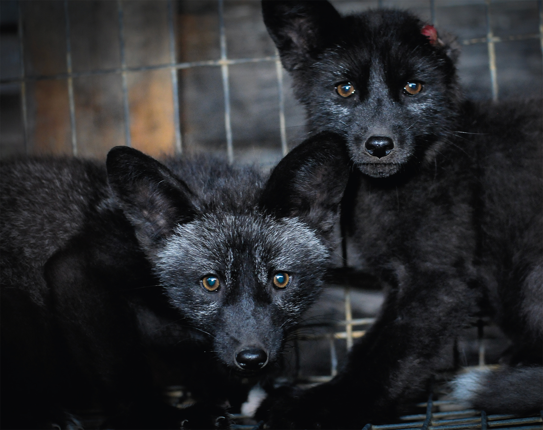 Caged Black Foxes / Photo: Jo-Anne McArthur / We Animals - from & with permission of Fashion Animals