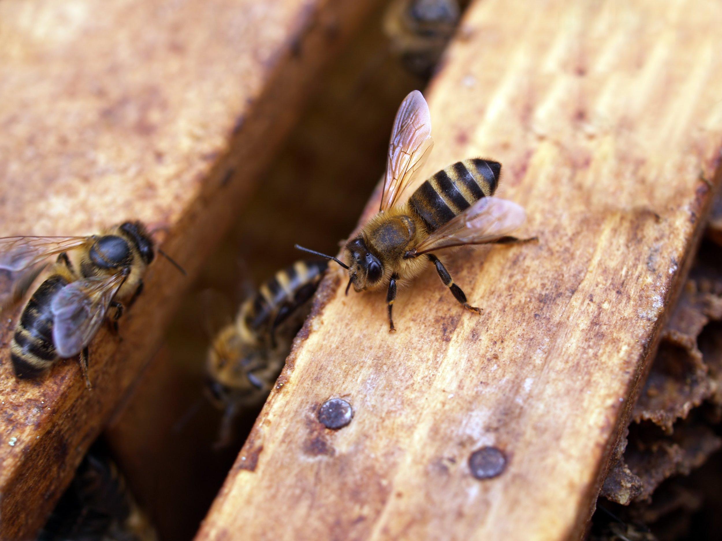animal-antenna-beehive-702935.jpg