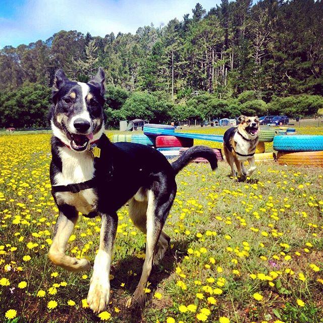 It just does not get better than THIS, Rascals. #dogwalkingadventures #doggydaycamp #dogsrunningfree #happiestdogs #smilingdogs #dogsmiling #sanmateoflowers #doggdaycaredone