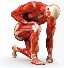 muscle hypertrophy .jpg