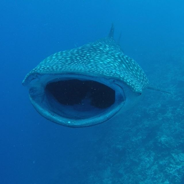 Open your mouth 😀... #whaleshark #ocean#maldives#diving#nature #sharks #travelagency
