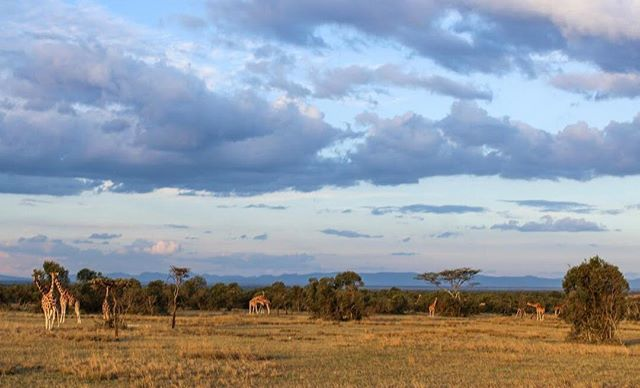 "From @millieckerr, ""This Wildlife Wednesday, I'm sharing pics from of one of my most memorable safari drives. I happened upon these giraffes (we counted 18 in total) at sunset during an October '16 Kenya trip. The light was amazing, but this photo doesn't do it justice."" Sadly, in recent years conservationists have discovered that giraffes are more vulnerable than previously thought. Fun fact to lift the mood: the scientific name for giraffe is camelopardalis for the animal's resemblance to camels and leopards! . . . . #giraffe #wildlifeconservation #wanderourwild #wow #travel #explore #adventure #globetrotter #canonrebel #canon #canonphotography #photography #olpejeta #Africa #kenya #safari #laikipia #travel #nature #naturephotograpy #wildlife #wildlifephotography #theafricansafari #wildlifeig #animals #animalsofinstagram #africanamazing #mothernature #naturephotography #wildlifephotography #wildlifewednesday"