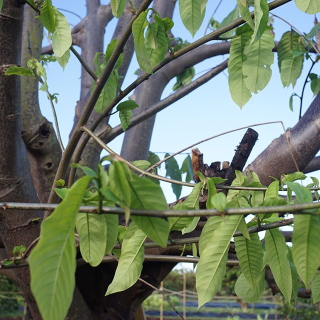 The biriba are leafing out again after being stripped of everything and laid on the ground. Word has it that Annona hate being uprooted. Mature Annona mucosa seems an exception! #Annona #biribia #rollinia #snotfruit #organicfruit #freshfromflorida #redlandraised #homestead #miami
