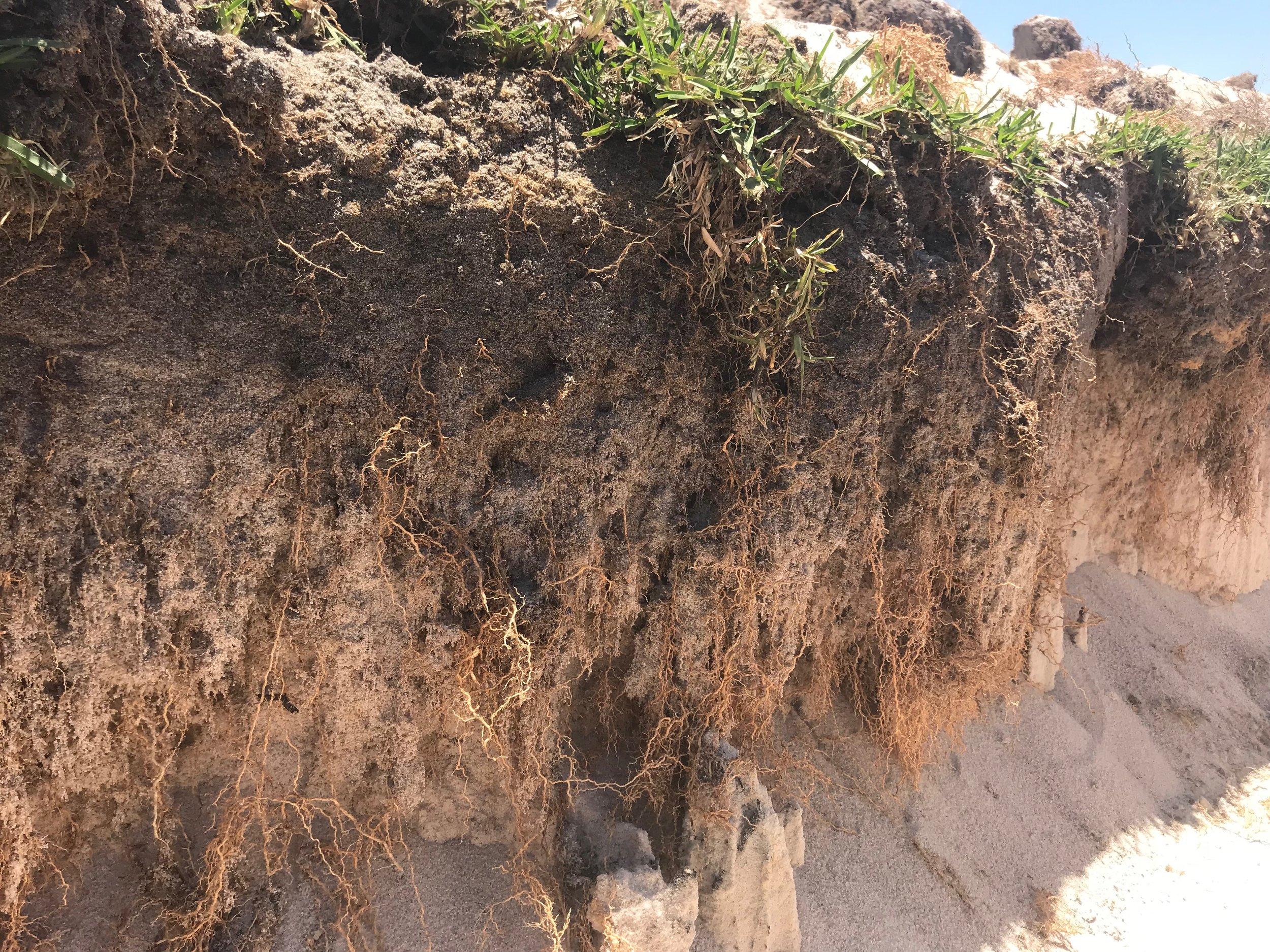Neergabby Buffalo Root system