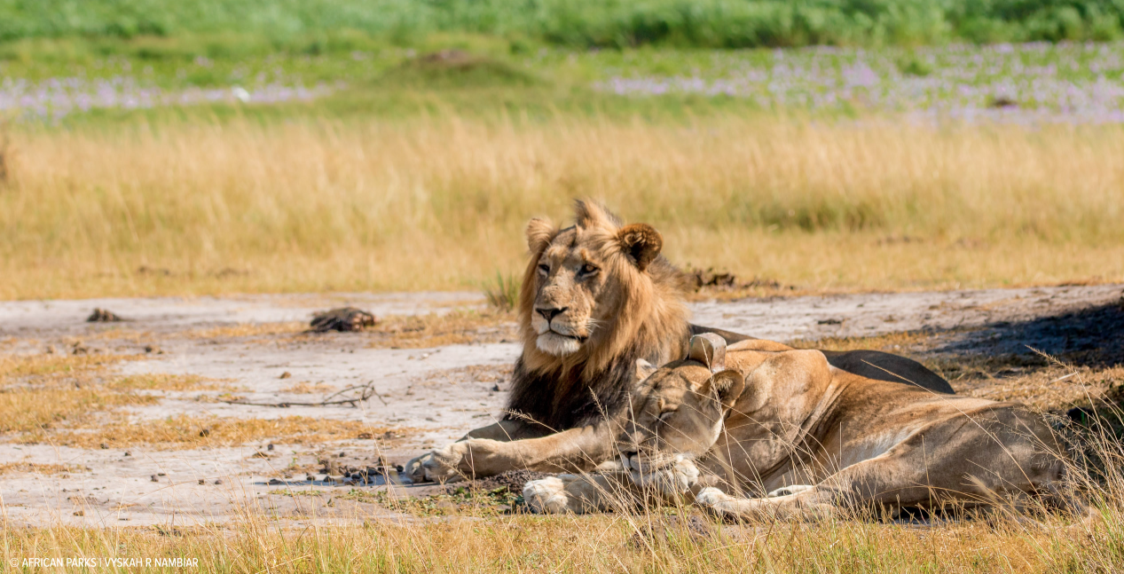 A lion and a lioness in Akagera National Park, Rwanda (Photo credit: Vyskah R. Nambiar)