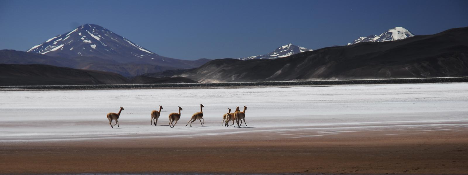 expedicion-pissis_Vicuñas-sobre-el-salar-de-la-Laguna-Negra_Griselda-Moreno.jpg