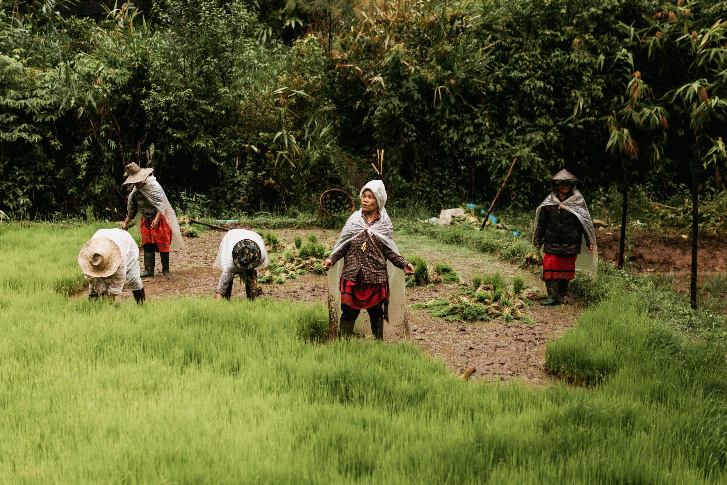 Karen tribe people farming rice in Thailand Mae Hong Son