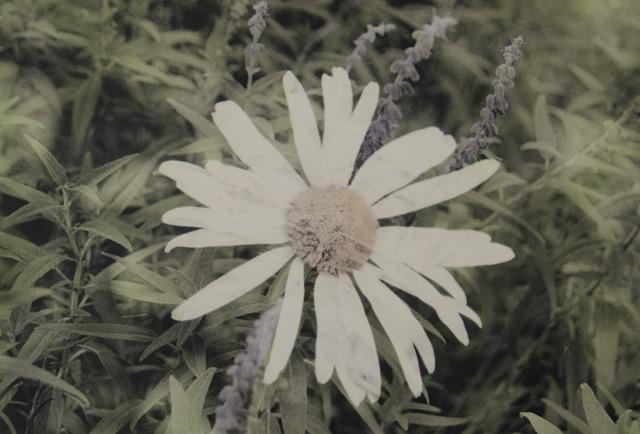 """Coneflower / Salvia  9"""" x 13"""""""