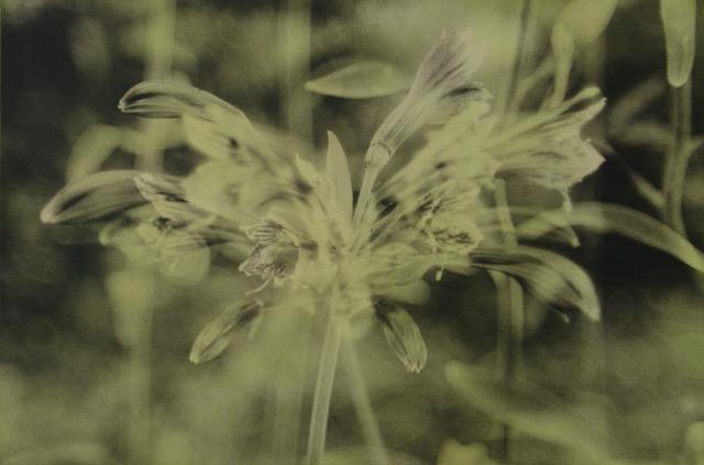"Alstromeria  Image 8"" x 11 1/2""  Framed 15"" x 19"""