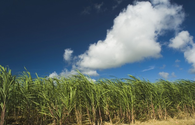 Sugar Cane Field.jpg
