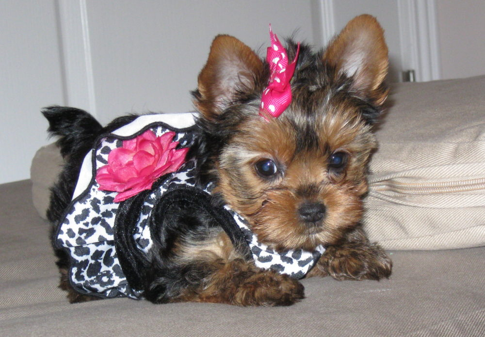 Cute-Yorkie-Dog-Breed-e1461660561506.jpg