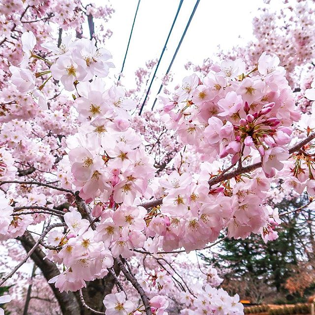 it's the first day of spring! ✨ and i know this because my seasonal allergies are through the roof 😪  but on a brighter note, in just a couple of more weeks, dc's beautiful cherry blossoms will be at peak bloom 🌸🥰 i took this photo of the cherry blossoms last year in Kenwood (also known as) one of the best and way less crowded places in DC to see these beauties 😍  aren't they just so pretty?! i can't wait to see them again this year, me and my zyrtec meds are ready! 😅🤣