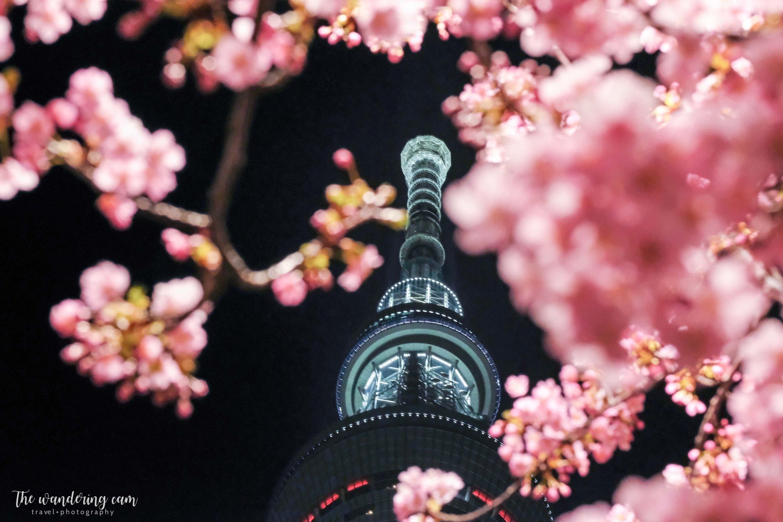 河津桜 Kawazu sakura near Tokyo Skytree (taken 10/3)