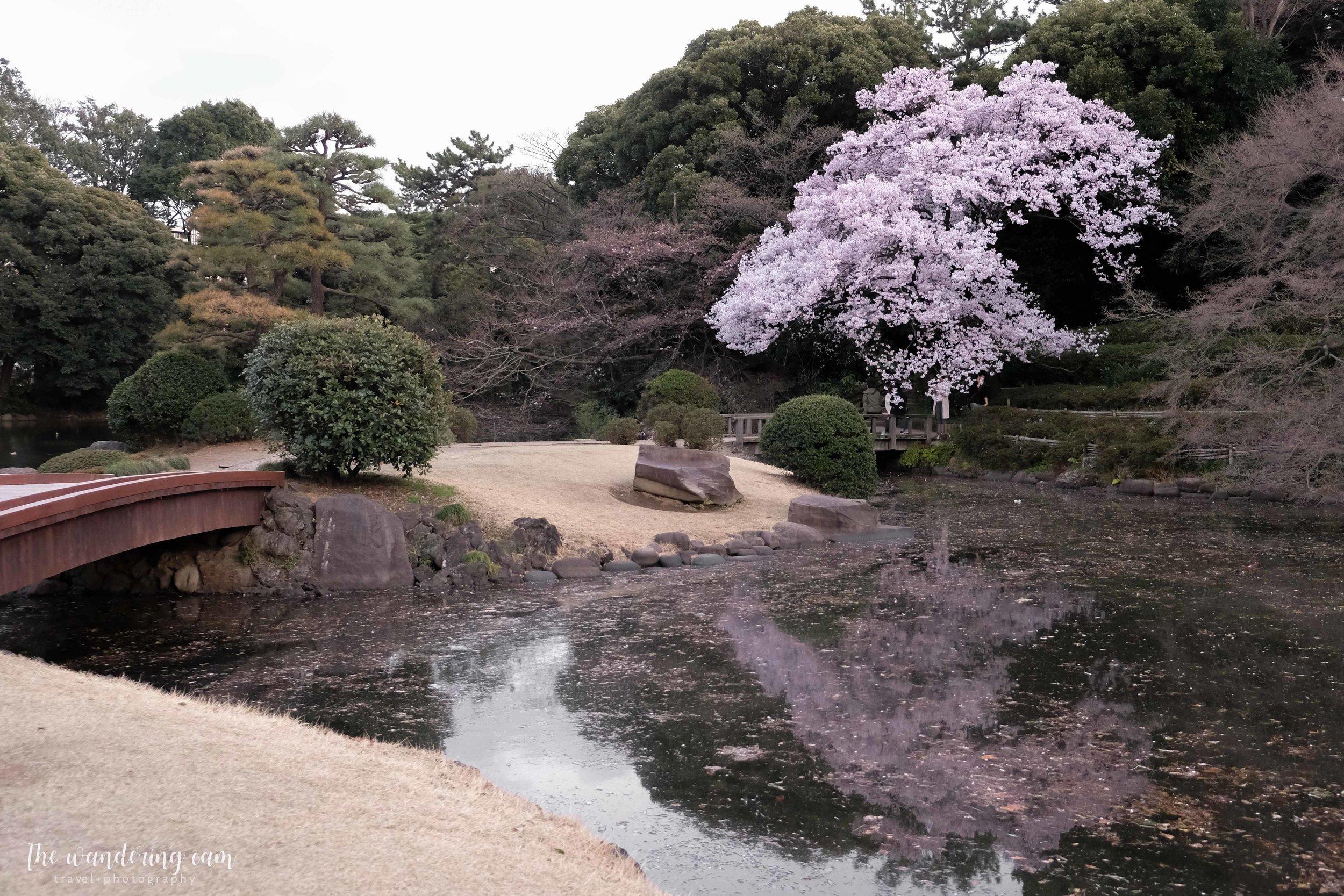 thewanderingcam_sakura_shinjukugyoen-4353.jpg