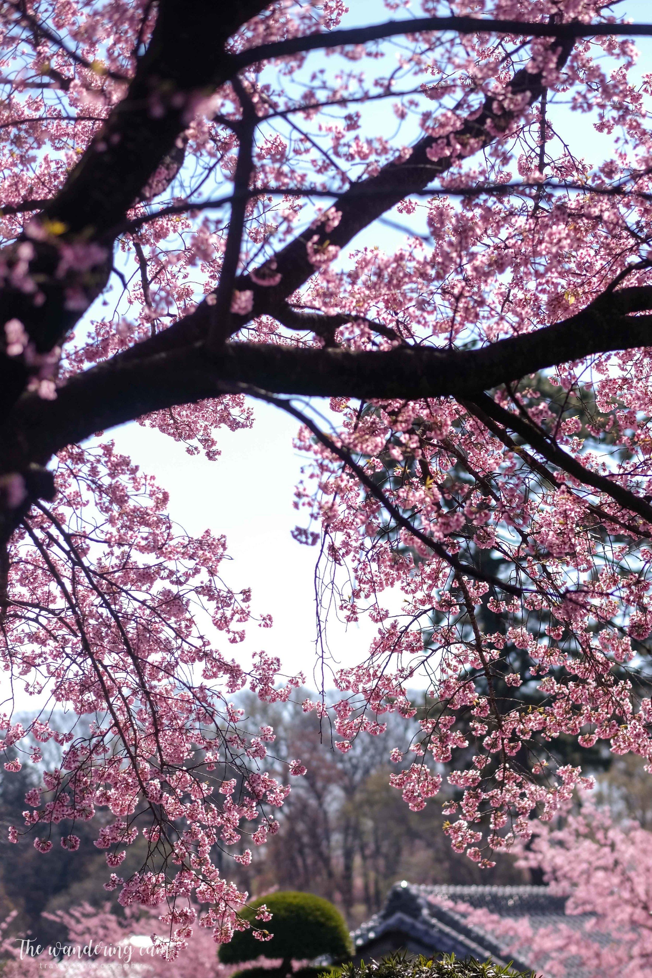 thewanderingcam_sakura_mitsuzoin-4441.jpg