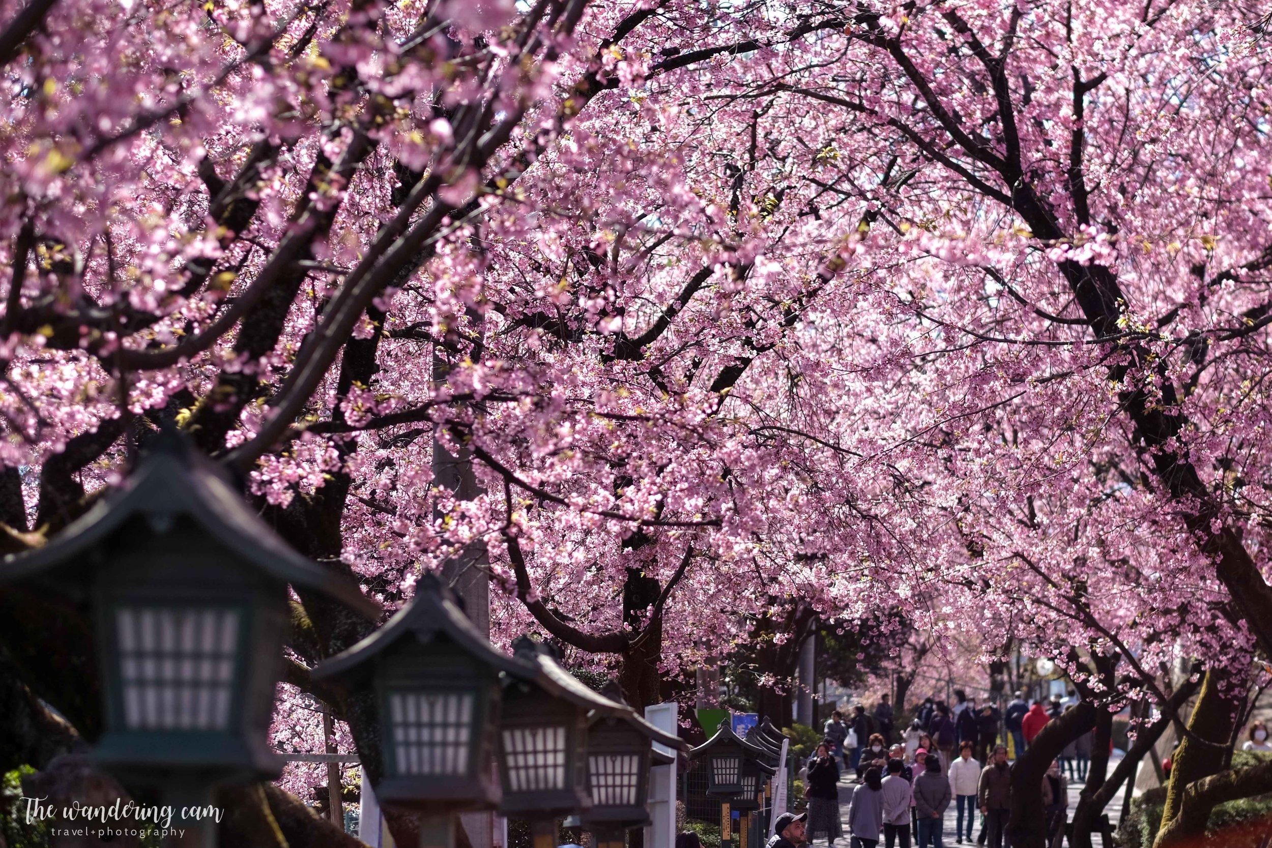 thewanderingcam_sakura_mitsuzoin-4481.jpg