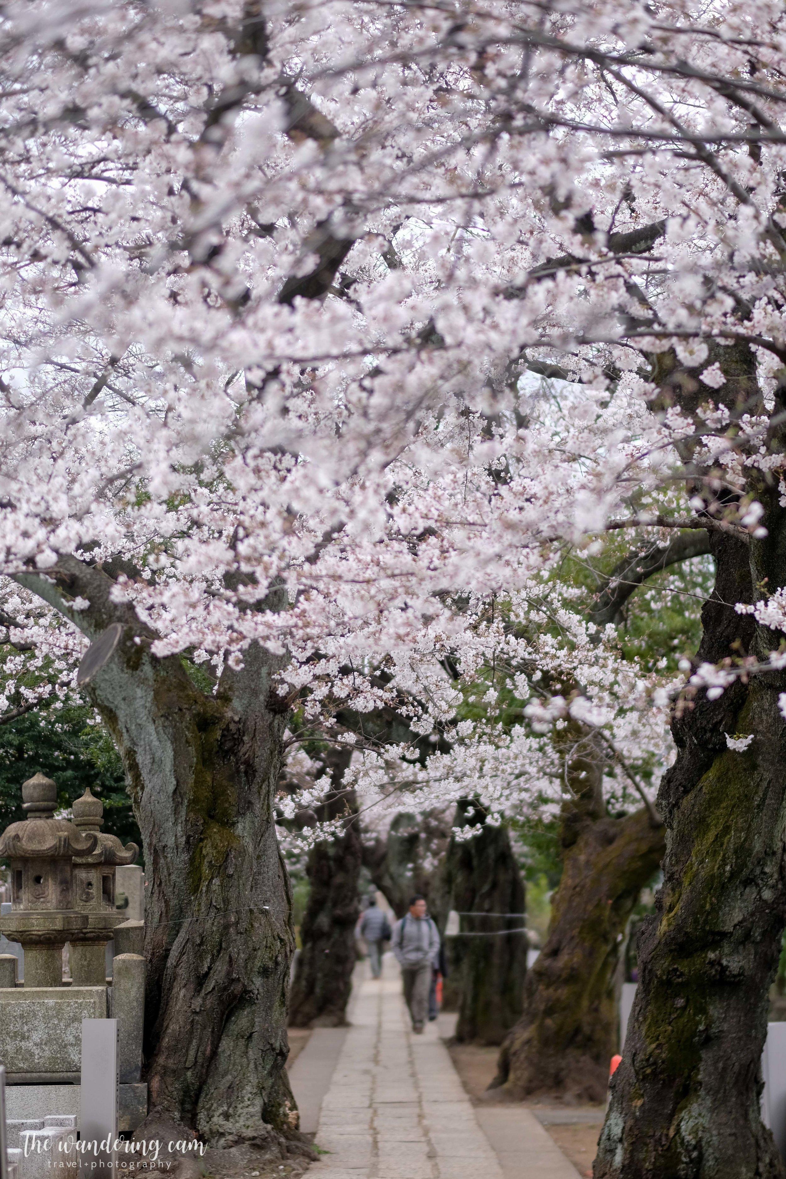 thewanderingcam_sakura_yanaka-4636.jpg