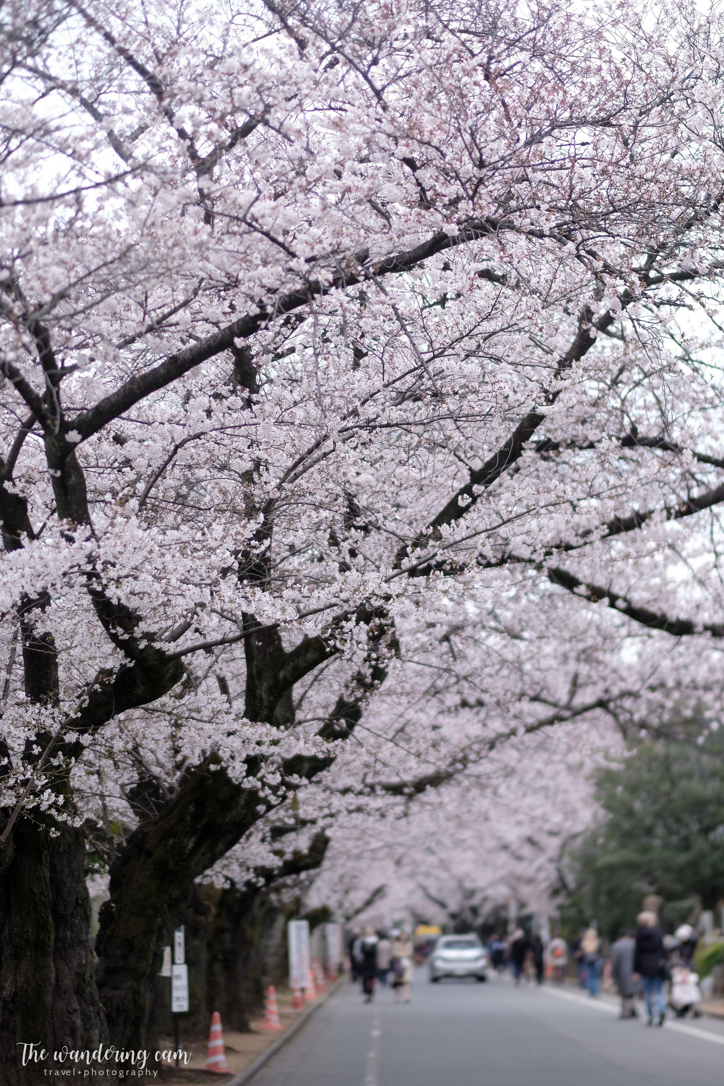 thewanderingcam_sakura_yanaka-4647.jpg