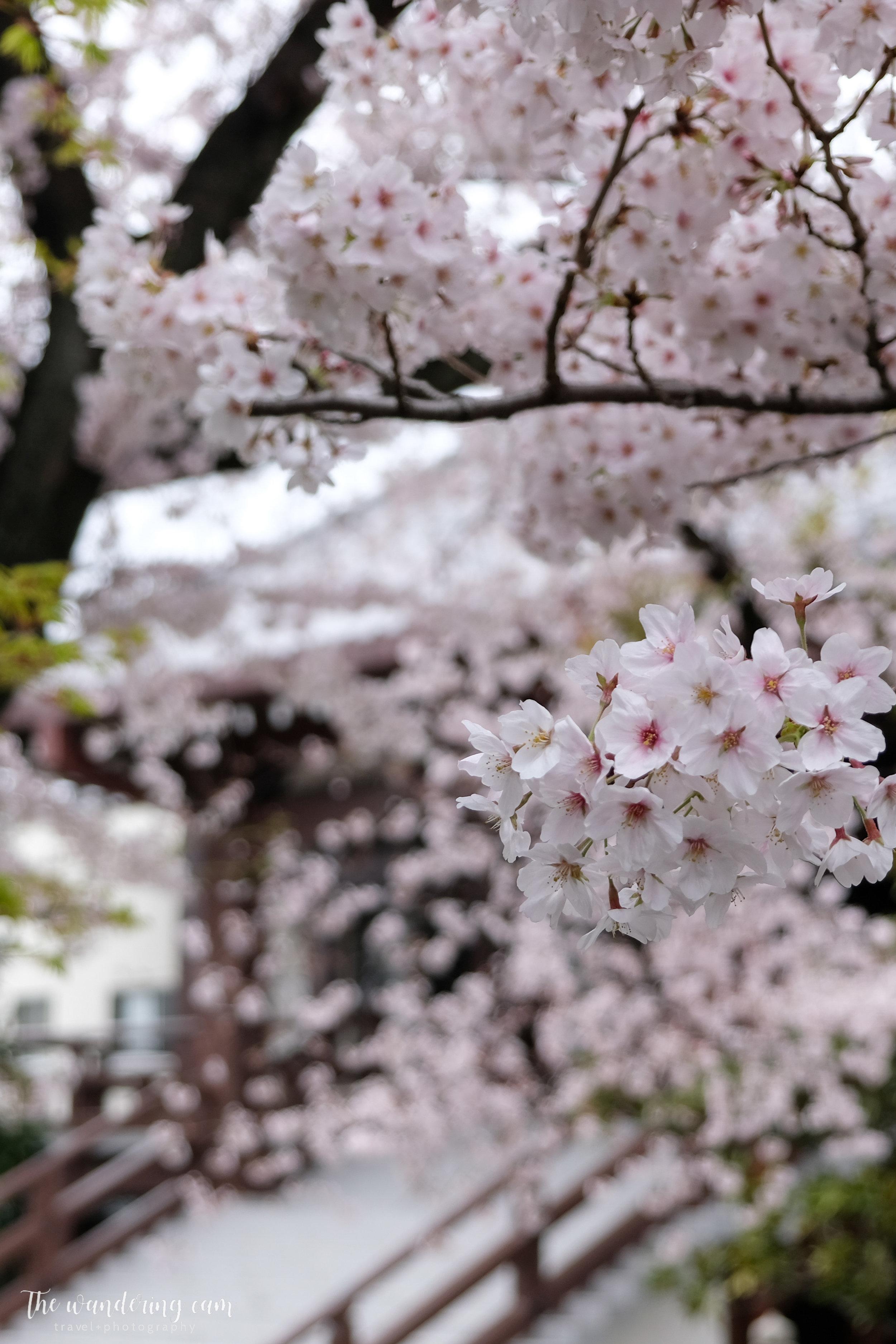 thewanderingcam_sakura_yanaka-4847.jpg