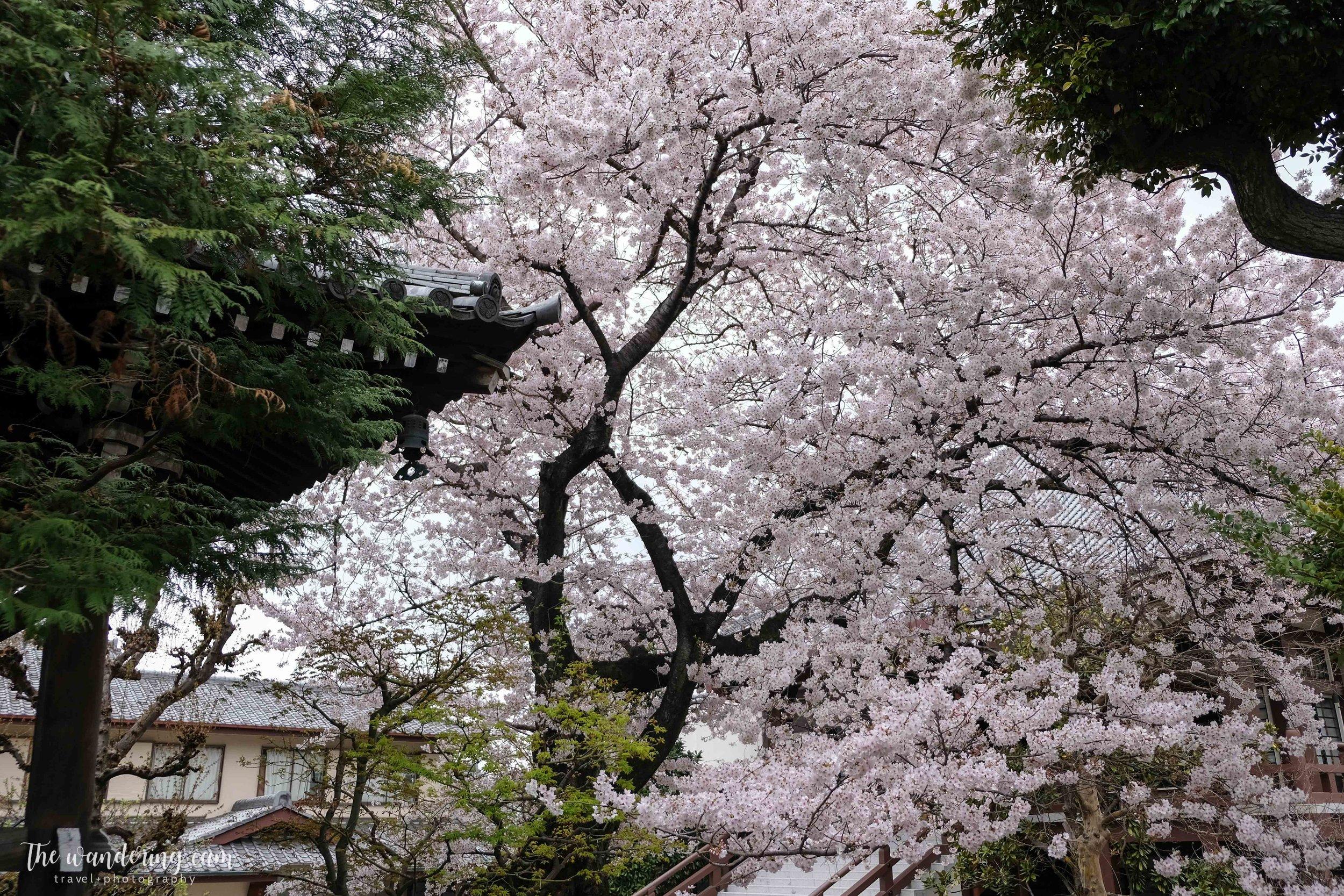 thewanderingcam_sakura_yanaka-4844.jpg