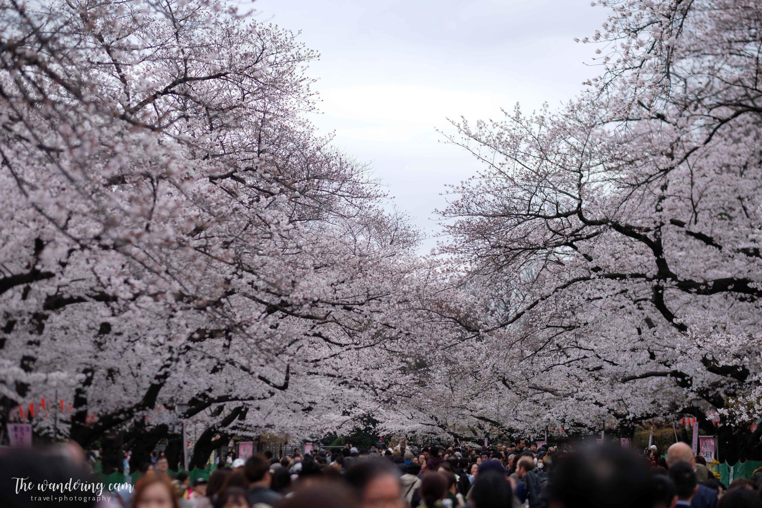 thewanderingcam_sakura_uenopark-4877.jpg