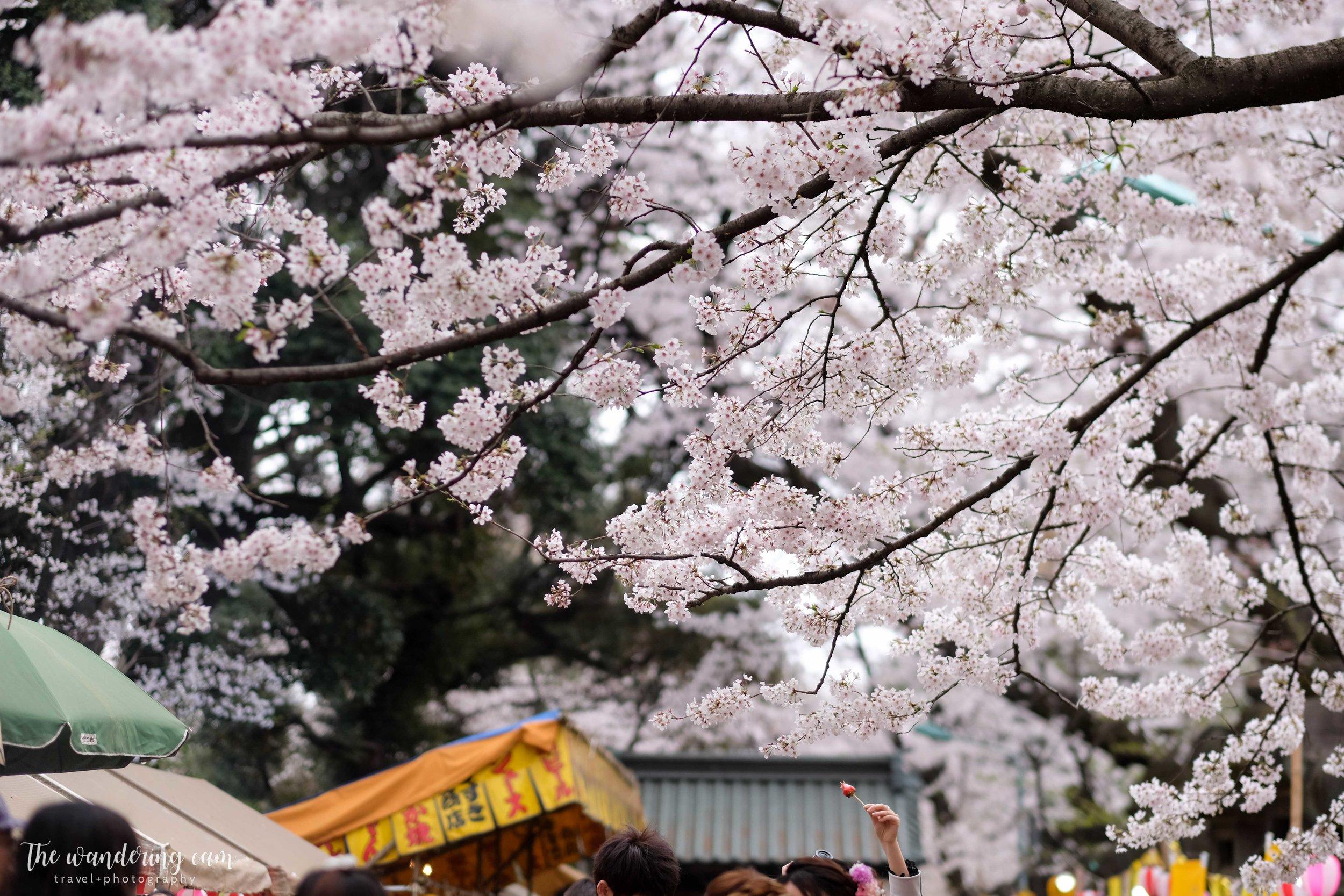 thewanderingcam_sakura_uenopark-4889.jpg