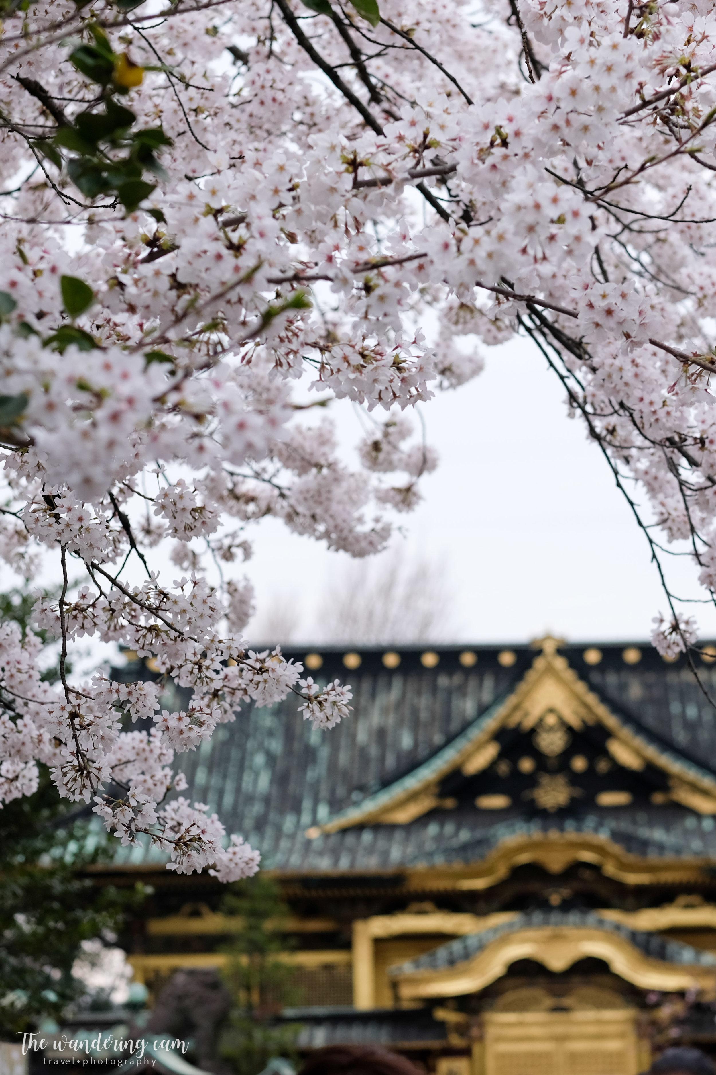 thewanderingcam_sakura_uenopark-4892.jpg