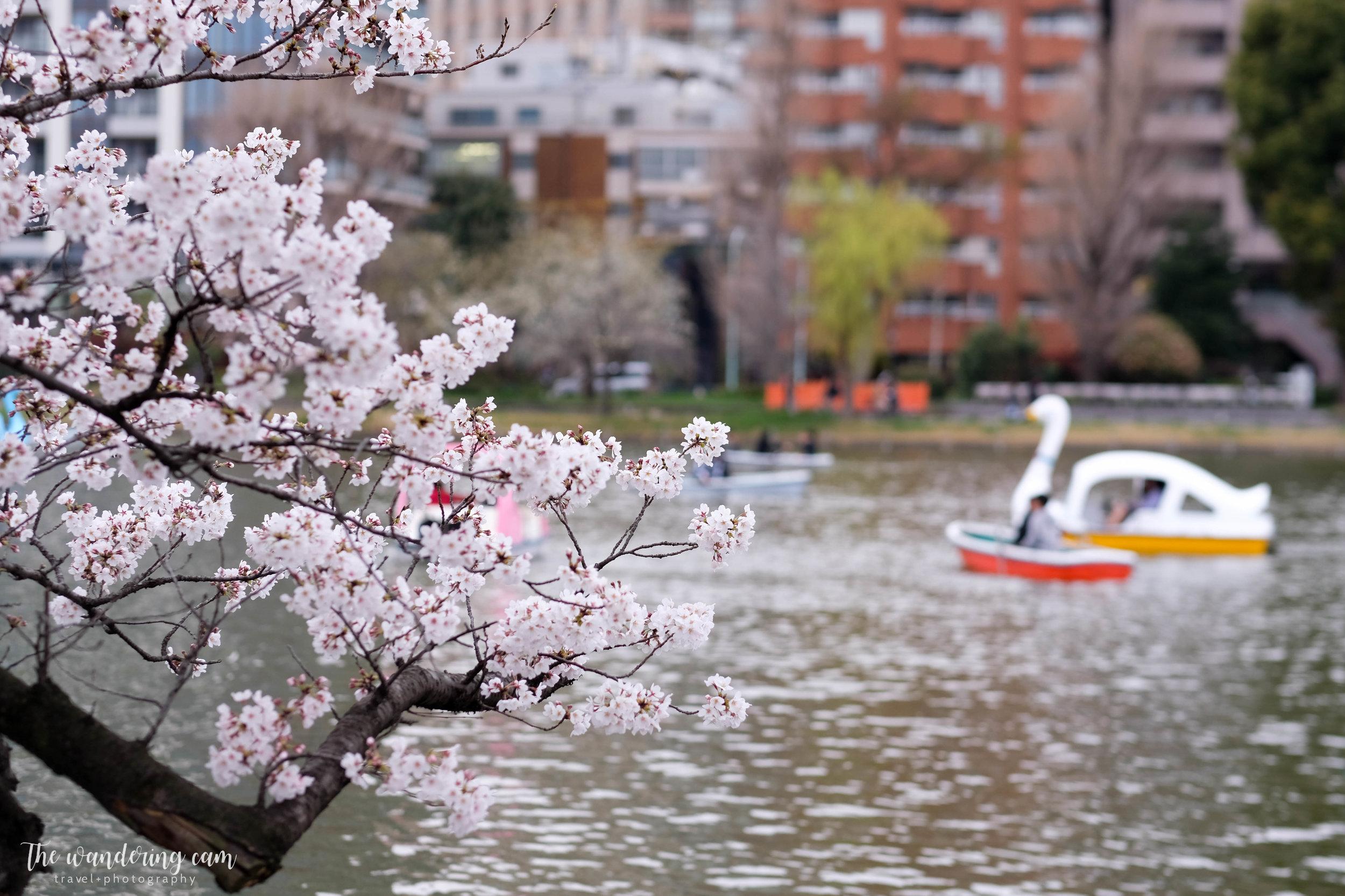 thewanderingcam_sakura_uenopark-4996.jpg