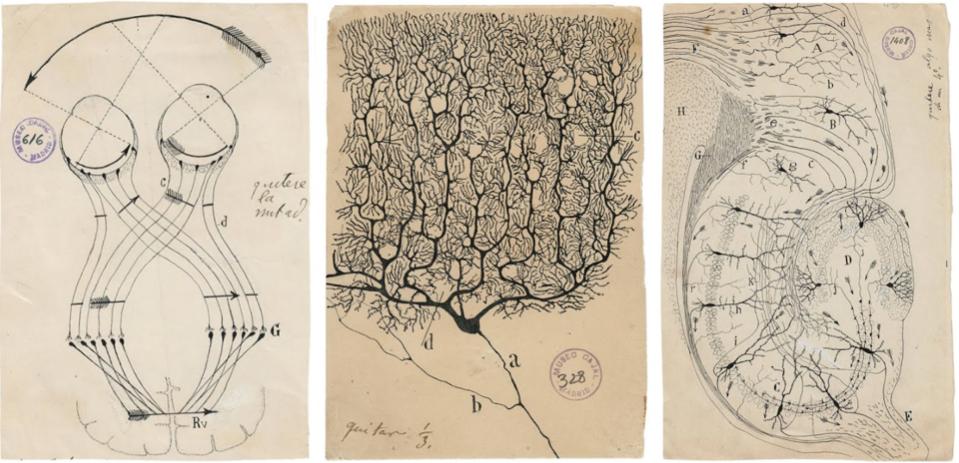 Santiago Ramón y Cajal (1852–1934) illustrations of brain cells)