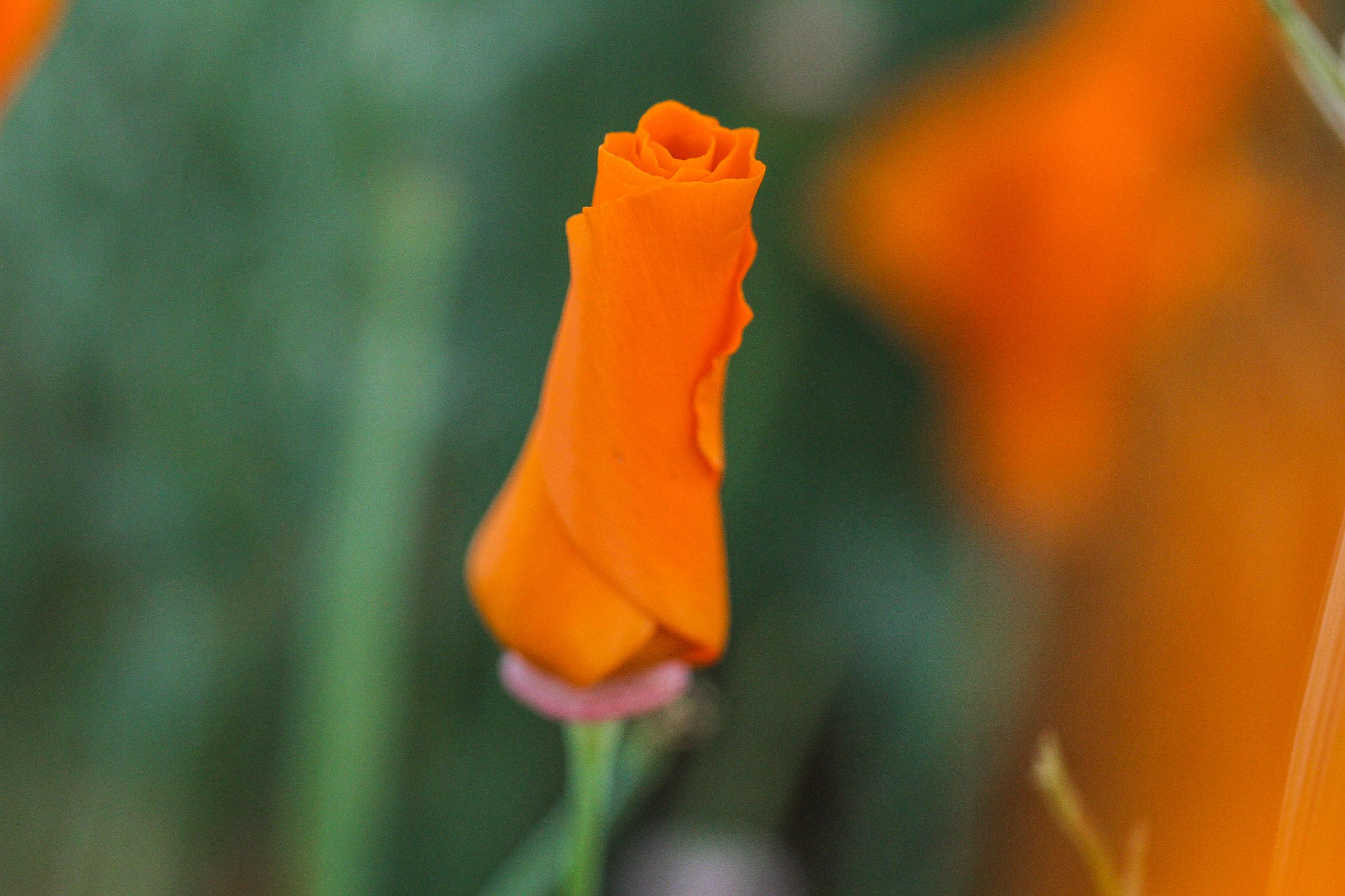 Poppies_041017-3690.jpg