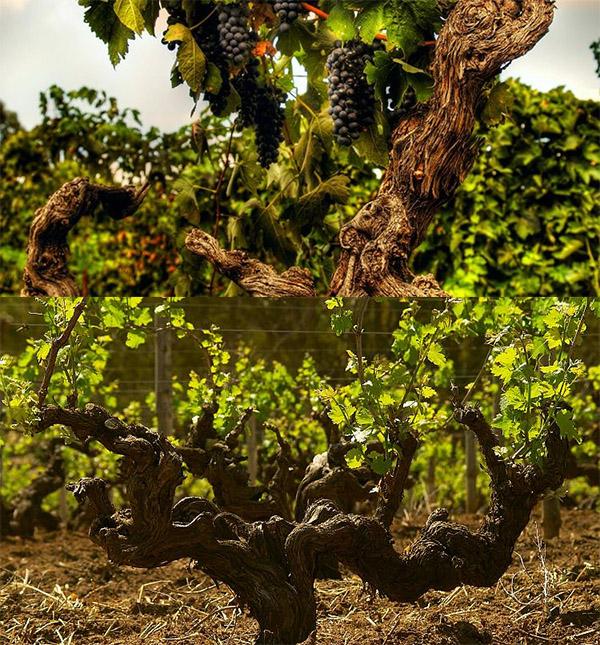 Barossa Vines.jpg