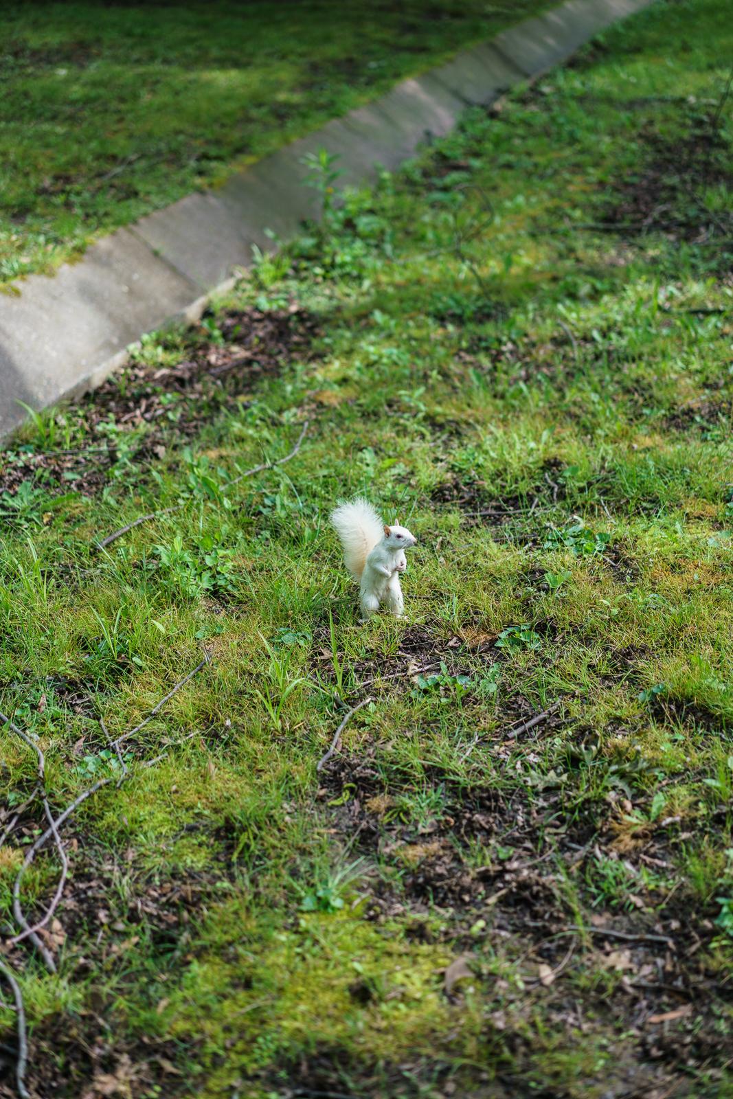 White Squirrel, Olney, Illinois, 2016 © Nate Larson