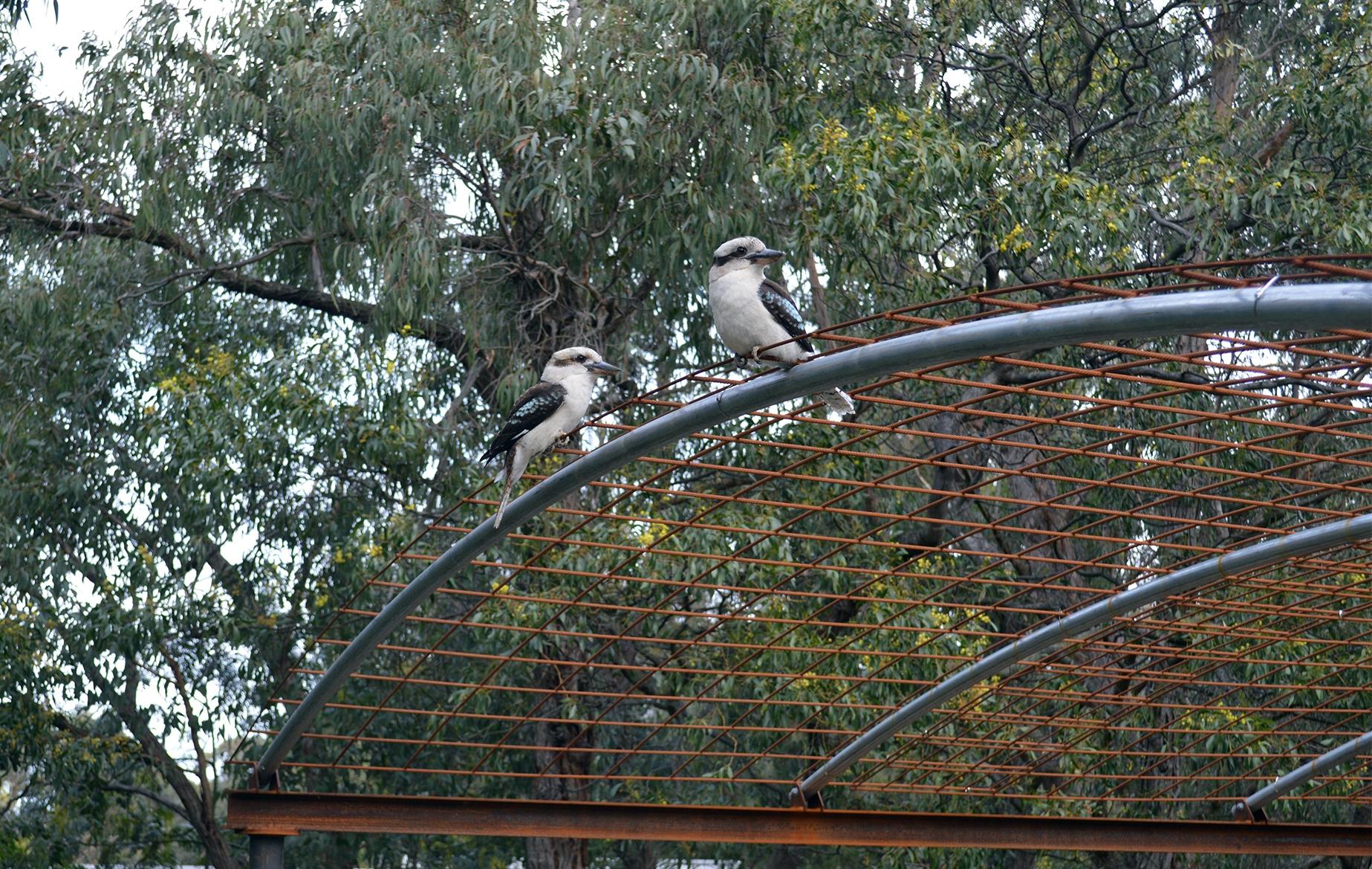 kookaburra_2.jpg