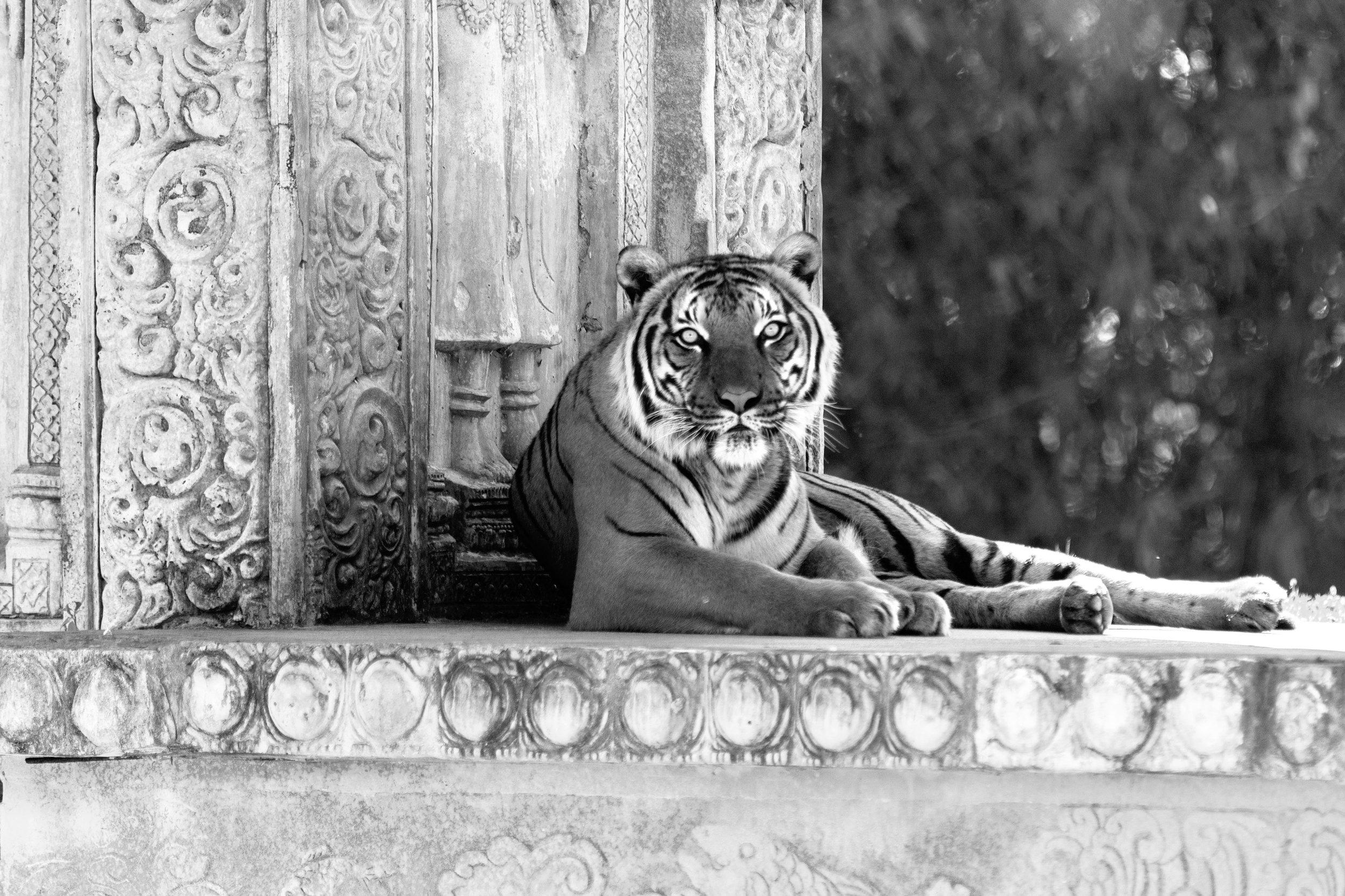 Tiger72.jpg