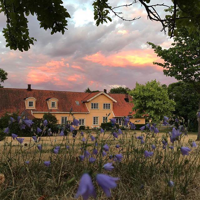 Godt noe fortsatt blomstrer! Gresset er nesten dødt pga tørken. Ønsker oss litt regn nå... #røedpåjeløy #tørkesommer #røed #jeløya