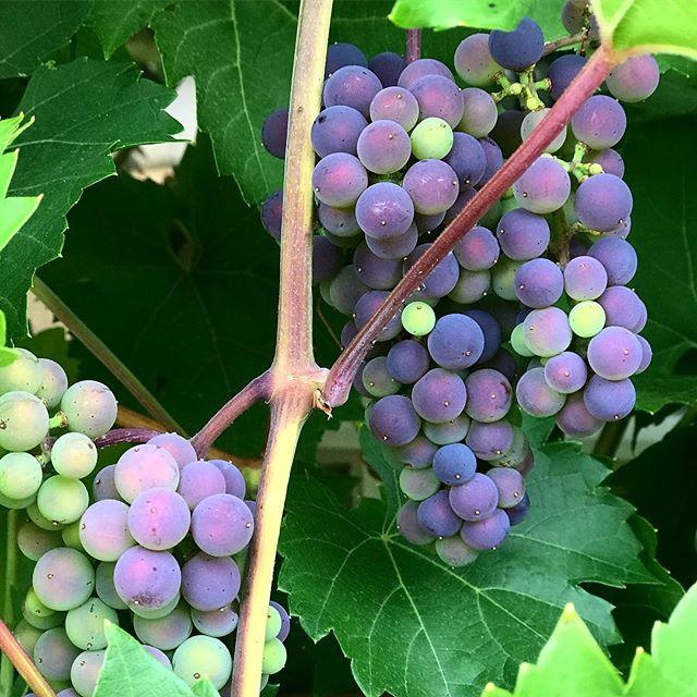 Kanskje Røed-vin neste år? Druene på Røed blir faktisk modne i sommer! #røedpåjeløy #røedgård #jeløy