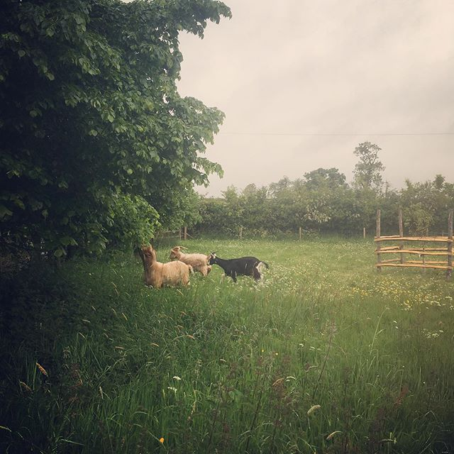Billy goats out to graze, bit of a overcast day but nothing is stopping them boys hit the lime trees and hedges.