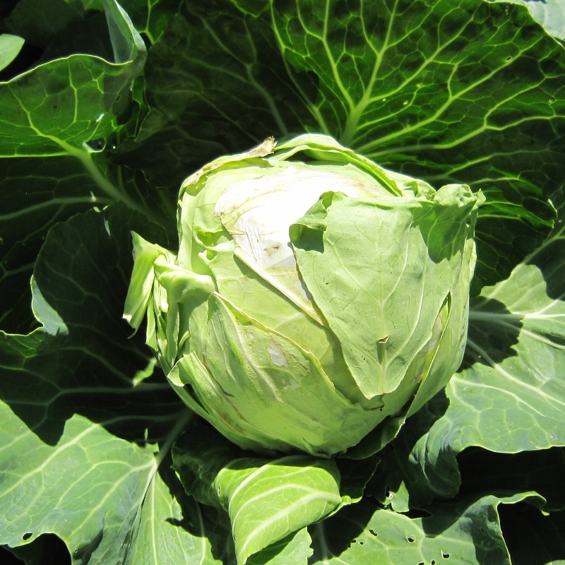 My best cabbage ever, grown in a front yard garden a couple years back