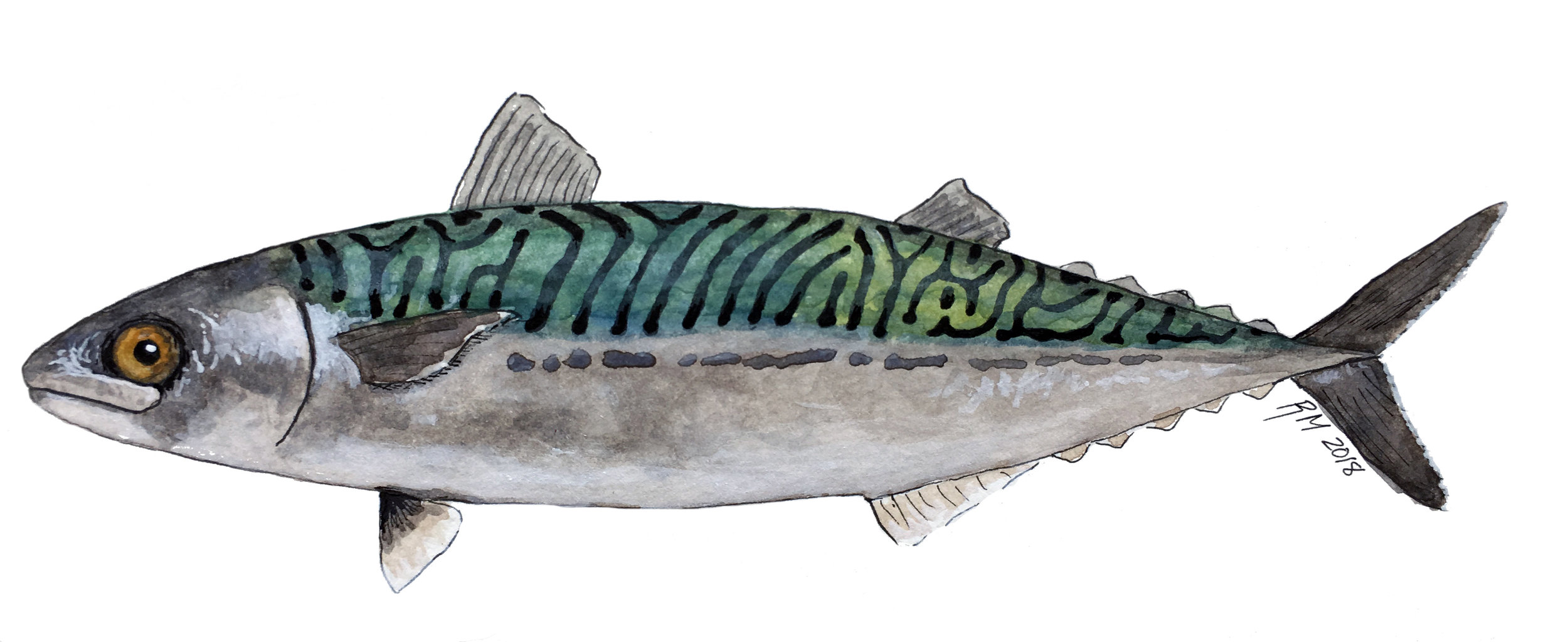 mackerel_compressed_1_14_2018.jpg