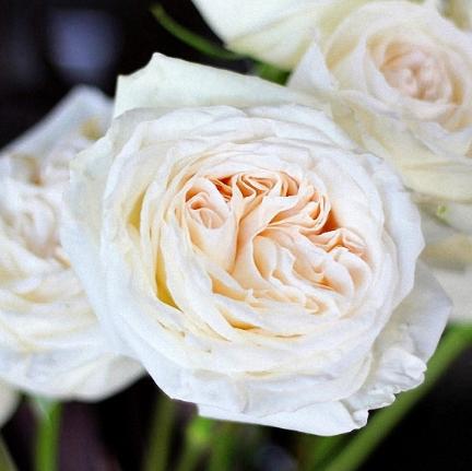 white o'hara garden rose