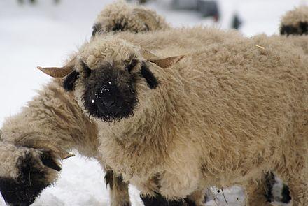 Valais Blacknose sheep (via Wikipedia)