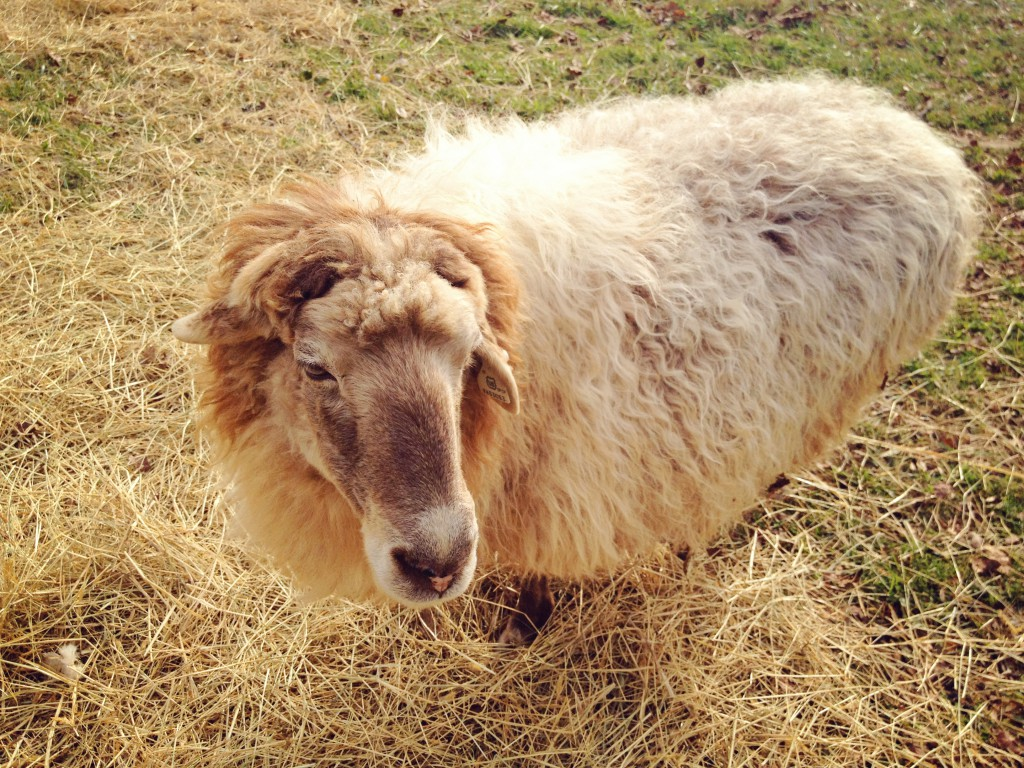 Cookie the Sheep