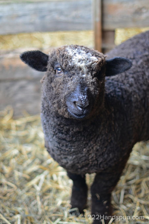 mdsw 2017 romney sheep