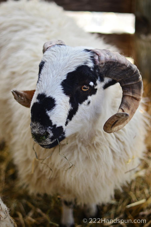 Scottish Blackfaced Sheep MDSW 2017