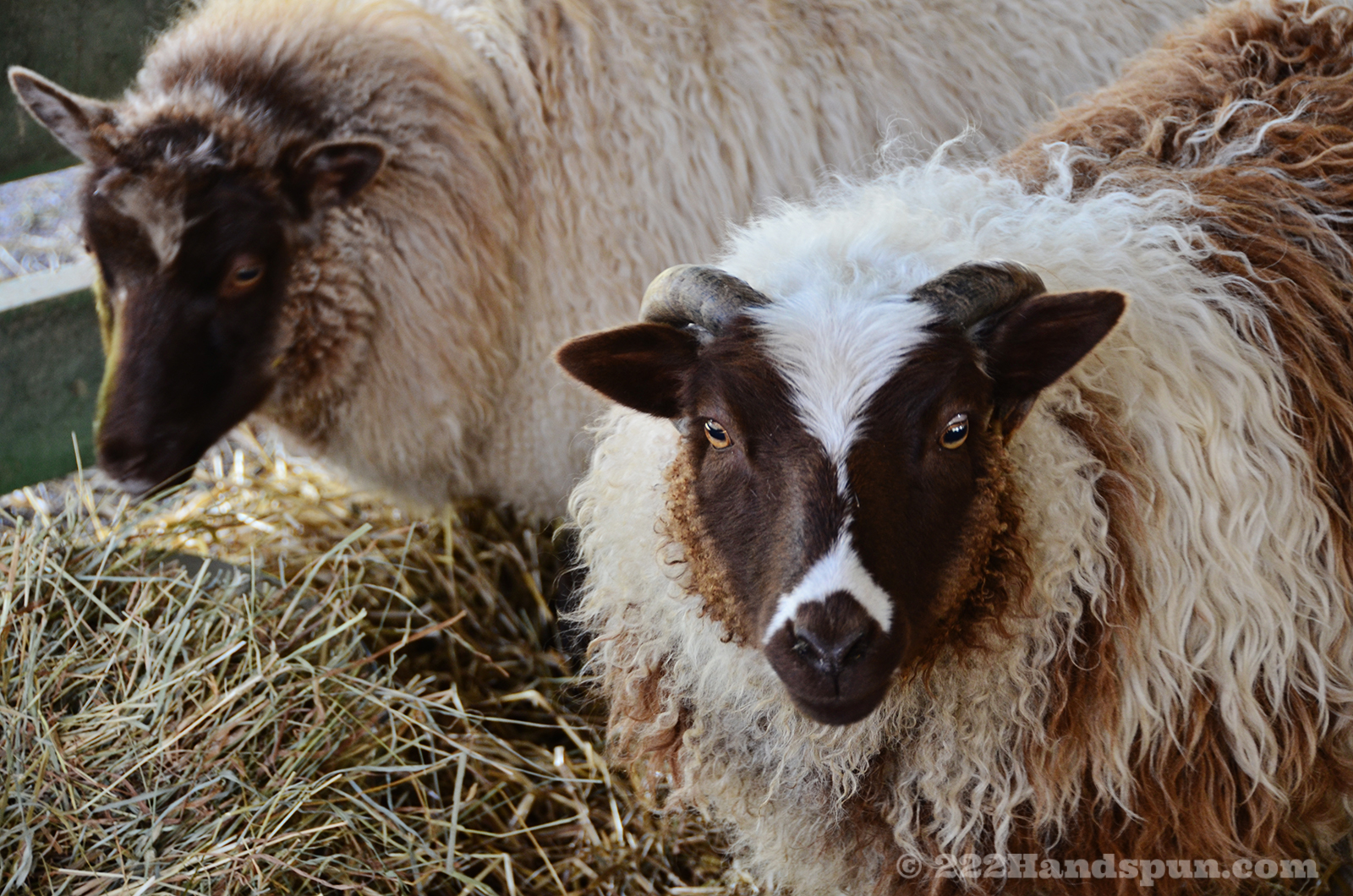 Shetland Sheep - Phoenix Farm Fiber