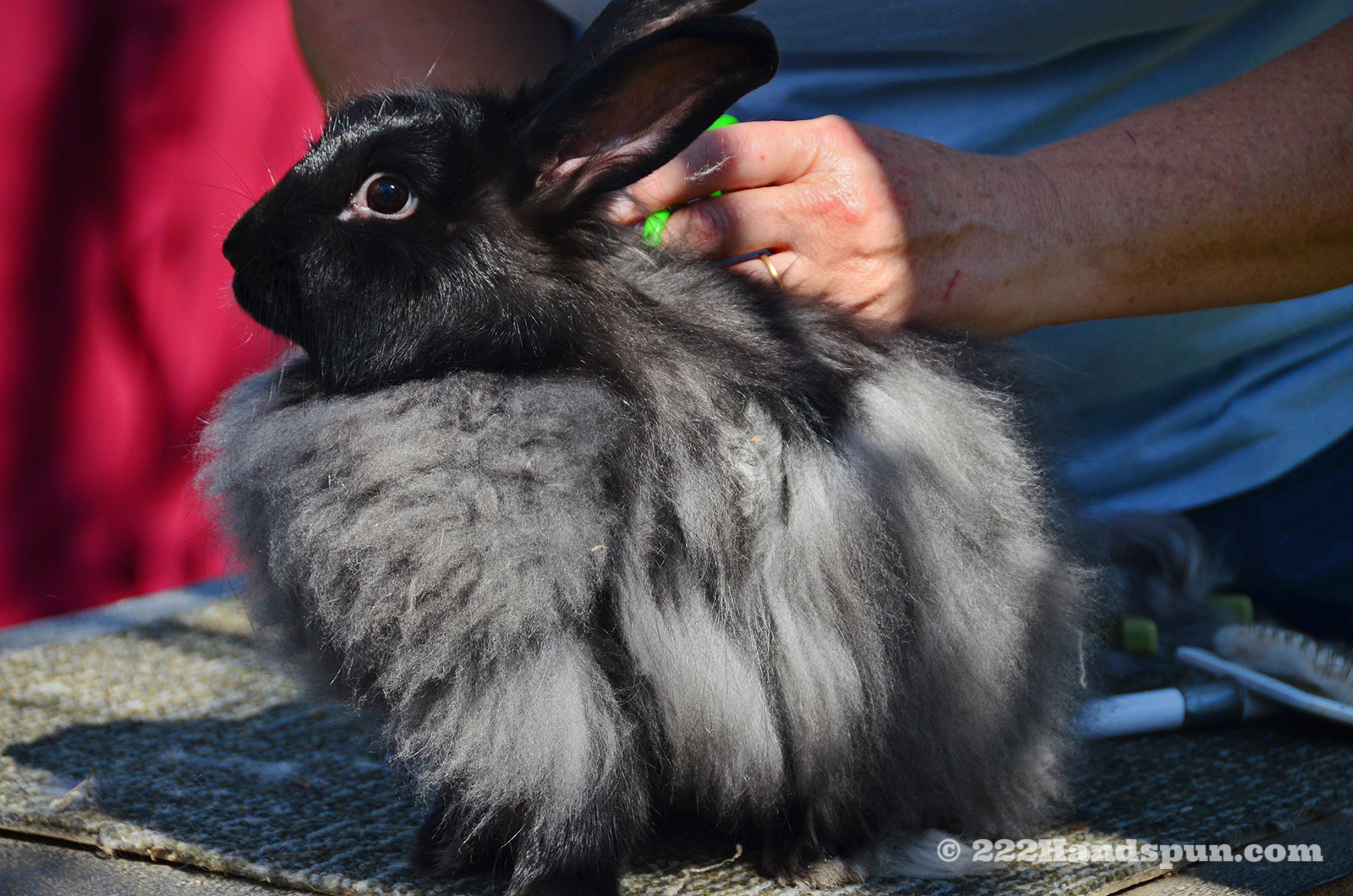 Angora Rabbit Being Groomed